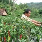 KOMODITAS PANGAN : Hama Kembali Serang Tanaman Cabai