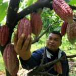 PERKEBUNAN PACITAN : Pemkab Pacitan Gandeng Swasta Budidayakan Kakao