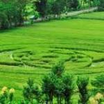 """Kapolres: """"Crop Circle"""" di Ngaglik rekayasa manusia"""