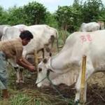Hewan ternak dari Sragen diawasi secara khusus