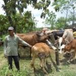 Ilustrasi sapi lokal yang kini tergusur sapi Australia bakal dikembalikan menjadi andalan seiring terungkapnya skandal penyadapan oleh Australia. (Arif Fajar S/JIBI/Solopos)