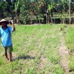 Tikus mengganas, ratusan hektare tanaman jagung gagal panen