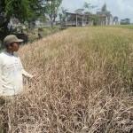 PERTANIAN BOYOLALI : Digelontor Pestisida, Serangan Wereng Urung Meluas