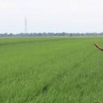 PEMUPUKAN -- Seorang petani sedang melakukan pemupukan di sawahnya beberapa waktu lalu. Saat ini konsumsi pupuk cenderung merosot  lantaran banyaknya hama sehingga sebagian besar petani memilih berhenti bertanam. (JIBI/SOLOPOS/dok)