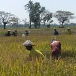 Petani Tanjungsari panen padi dengan metode Tabela