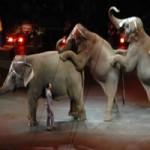 Bocah 11 tahun tewas diinjak gajah sirkus