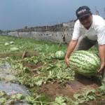 Wow, semangka jumbo beratnya 27 kg!
