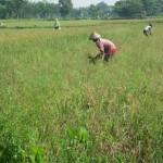 PERTANIAN BOYOLALI : Petani Boyolali Diminta Waspadai Serangan Wereng