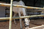LIMBAH: Warga Kadipiro Keluhkan Limbah Kandang Kuda
