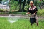 Ilustrasi pemupukan tanaman padi (JIBI/Harian Jogja/Dok)