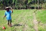 Dinas Pertanian Karanganyar Klaim Belum Ada Kerugian Petani Akibat Kemarau