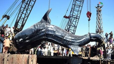 karachi selain mengejutkan warga penemuan ikan hiu paus