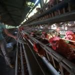 Ilustrasi peternakan ayam (Gigih M Hanafi/JIBI/Harian Jogja)