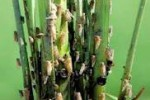 PERTANIAN KLATEN : Diserang Wereng, Ratusan Hektare Tanaman Padi Terancam Puso