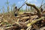 Ilustrasi petani tebu (Dok/JIBI/Bisnis)