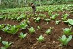 PERTANIAN MADIUN : Sudah Panen, Petani di Ngale Belum Jual Daun Tembakau