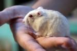 HAMSTER: Kuliah Sambil Beternak Hamster
