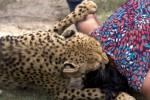 DISERANG HARIMAU: Wanita Inggris Diserang 2 Harimau di Kebun Binatang