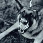 PENYAKIT MENULAR : Cegah Penularan Rabies, Wonogiri Data Populasi Anjing