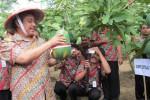 PANEN PEPAYA--Bupati Boyolali, Seno Samodro tengah memanen pepaya di Desa Karangnongko, Kecamatan Mojosongo, Kamis (7/6/2012). Panen ini sekaligus launching pepaya MJ9. ( Farida Trisnaningtyas/JIBI/SOLOPOS)
