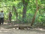 Komodo di Pulau Komodo (JIBI/Bisnis Indonesia)
