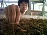 CACING TANAH—Salah satu anggota Berbah Manunggal Creative I Manunggal Sejahtera menaburkan benih cacing tanah untuk dikembangkan, Sabtu (2/6) (JIBI/Harian Jogja/Tri Wahyu Utami)