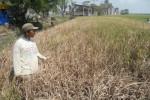 PERTANIAN BOYOLALI : Diserbu Wereng, 300-An Hektare Padi di Ngemplak Gagal Panen