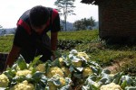 HARGA ANJLOK: Cabuk Hitam Serang Kembang Kol