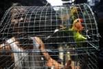 KANDANG BURUNG Dibobol, 16 Pasang Lovebird Lenyap