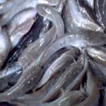 Berapa Banyak Konsumsi Ikan Lele di Jogja?