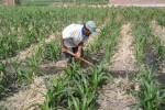 Ilustrasi tanaman jagung (JIBI/Dok)