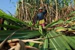 POLA TANAM: Tanam Padi Sering Gagal, Petani Pilih Tanam Tebu