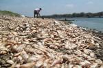 Ikan mati di kawasan Waduk Cengklik, Ngemplak, Boyolali. (Septhia Ryanthie/JIBI/SOLOPOS)