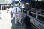 Petugas Disnakkan Boyolali memeriksa fisik dan kondisi kesehatan hewan kurban di salah satu lapak penjual musiman, Selasa (23/10/2012). (JIBI/SOLOPOS/Septhia Ryanthie)