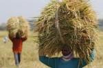 Petani memanggul beras hasil panen di daerah Ngemplak, Boyolali, beberapa waktu lalu. Meski jumlah orang yang mengalami kelaparan di dunia menurun menurut perhitungan badan pangan dan pertanian PBB, FAO, namun meningkatnya harga pangan bisa memperlambat upaya mengatasi kelaparan. (JIBI/SOLOPOS/Agoes Rudianto)