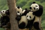 Panda (google/fyeahbabypandas.tumblr.com)