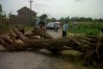 Pohon Asem Cina yang tumbang di tengah jalan Dukuh Sepet, Desa Manggis, Kecamatan Mojosongo, Boyolali, Rabu (17/10/2012), sempat membuat arus lalu lintas jalan itu tersendat.(Septhia Ryanthie/JIBI/Espos)
