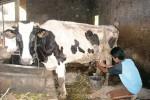 PRODUK SUSU BOYOLALI : Boyolali Kekurangan Suplai 132.000 Liter Susu Per Hari