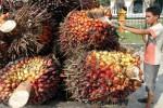 Ditolak Eropa, Minyak Sawit Indonesia Dilirik Iran