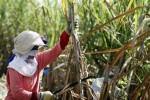 INDUSTRI GULA : PTPN XI Kembangkan Tebu Rendemen Tinggi dengan Bioteknologi
