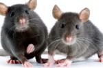 HASIL PENELITIAN : Tahukah Anda? Tikus Menyanyi Seperti Mesin Jet Saat Cari Pasangan