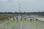 Penanaman padi dilakukan di area persawahan Desa Pandeyan, Kecamatan Ngemplak, Selasa (11/12/2012). Lokasi tersebut berada di sebelah selatan jalur tol Solo-Kertosono. (Oriza Vilosa/JIBI/SOLOPOS)