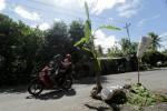 Jalan Rusak, Warga Iroyudan Tanam Pohon Pisang