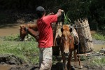 Angkut Pasir, Warga Bangak Andalkan Kuda…