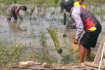 Sejumlah warga mencari lumut di areal persawahan yang tergenang di Garen RT 004/003, Pandeyan, Ngemplak, Boyolali. Lumut itu dipergunakan sebagai umpan memancing. (JIBI/SOLOPOS/Mahardini Nur Afifah)