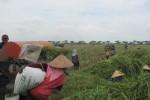 Pekerja sedang memanen padi di sawah di Desa Pringanom, Masaran, Sragen. Lahan pertanian di desa ini sebagian sudah terkena serangan hama wereng. (JIBI/SOLOPOS/Eni Widiastuti)