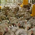Kenaikan Harga Daging Ayam Ras Picu Inflasi
