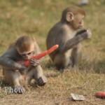 Ilustrasi serangan monyet (JIBI/Solopos/Dok.)