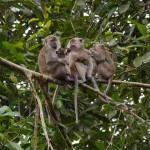SERANGAN MONYET : Cegah Serangan Monyet, Lahan Khusus Buah Disiapkan