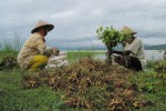 Petani memanen kacang tanah yang ditanam di ladang dekat Waduk Gajah Mungkur (WGM) Desa Pondoksari, Kecamatan Nguntoronadi, Wonogiri. Badan Pusat Statistik akan menggelar sensus pertanian untuk memperbarui data pertanian. (JIBI/SOLOPOS/Tika Sekar Arum)